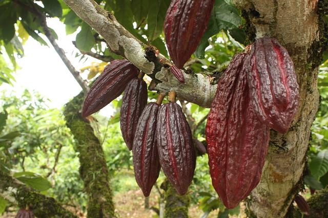 Kakaobaum in der Friedensgemeinde